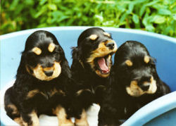 Black & Tan Puppies